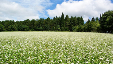 buckwheat-field-in-blossom