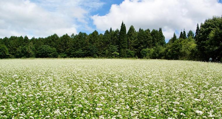 buckwheat-field-in-blossom